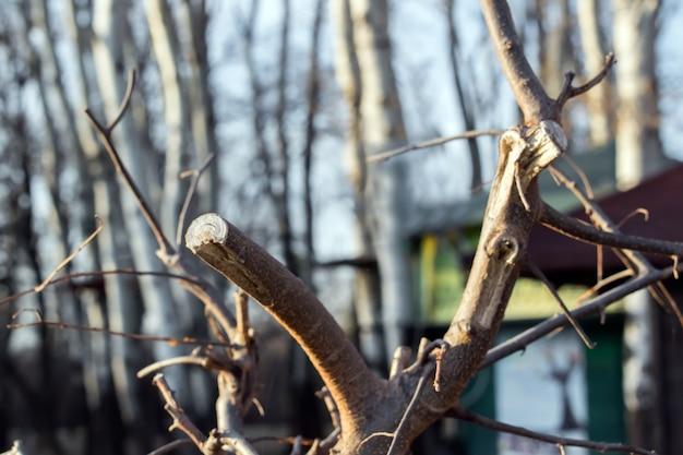 春の新鮮な剪定されたリンゴの枝