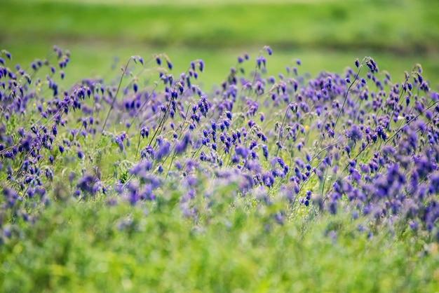草原のセージまたはサルビアディビノラムの新鮮な紫色の花
