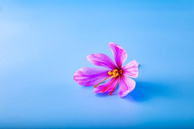 新鮮な紫色のサフランの花