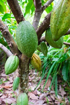 Fresh raw cocoa fruit from cacao tree