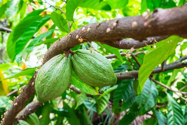 Fresh raw cocoa fruit from cacao tree