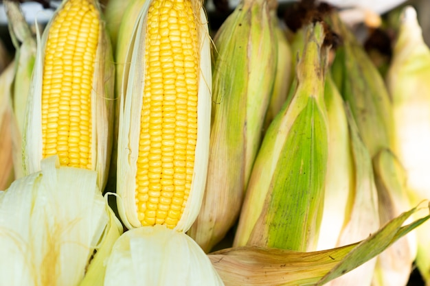 Fresh raw corn cob on corn stacked