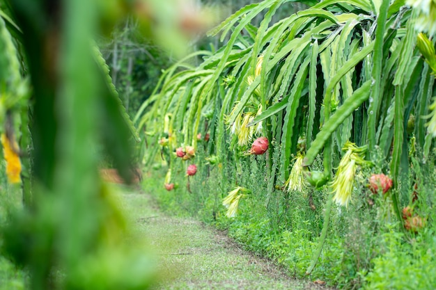 Fresh raw dragon-fruit in farm or pitahaya fruit growing in or ganic farm