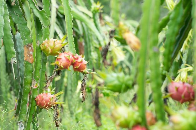 Свежий сырой драконий фрукт на ферме или на питахайской ферме или на ганической ферме