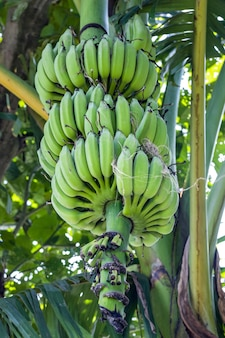 Свежие сырые зеленые бананы, висящие на дереве крупным планом