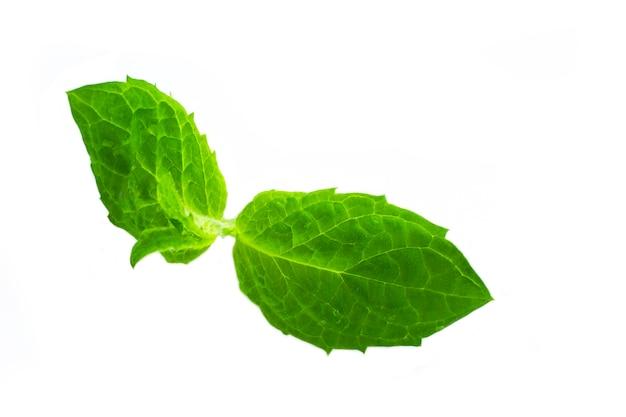 Свежие сырые зеленые листья мяты изолированные