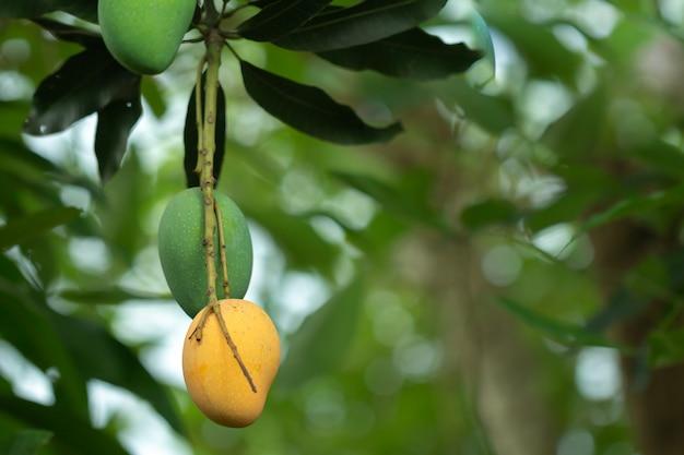 Fresh raw and ripe