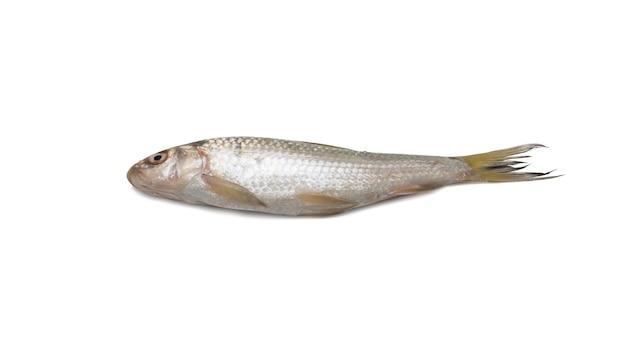 흰색 배경에 고립 된 신선한 원시 반짝이 물고기