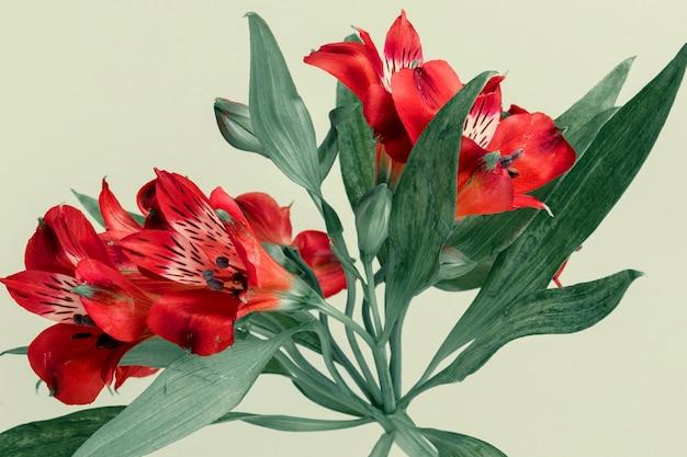Свежий красный цветок альстромерии на зеленом фоне