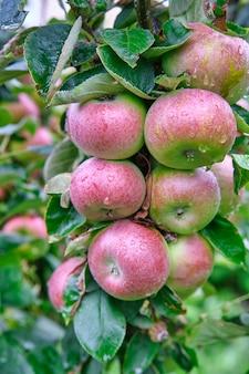 Свежие красные яблоки в органическом саду после дождя. идет дождь и капает на висящие на ветке яблоки.