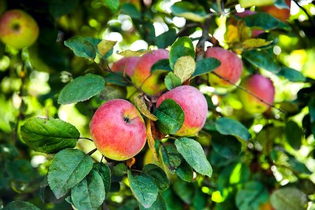 木の上の新鮮な赤いリンゴ