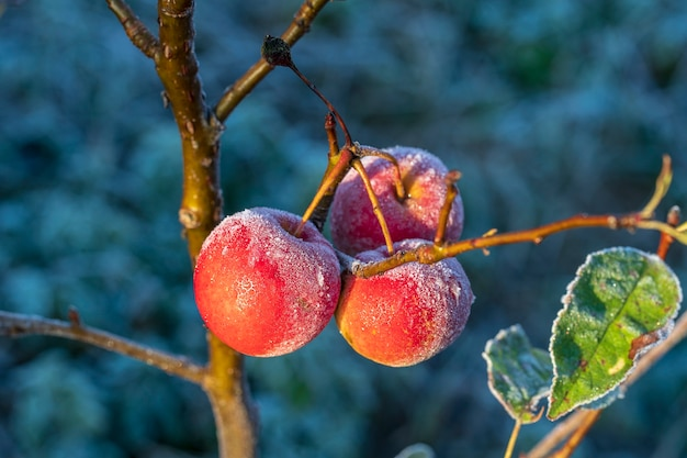 Fresh red apples on tree in the first frost, close up. red apples with hoarfrost after the first morning frost, ukraine