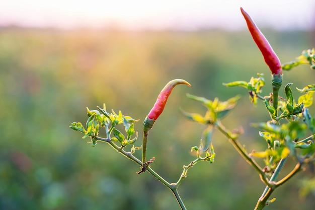 Свежий красный перец чили из дерева