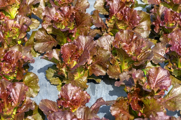 유기농 야채 농장에서 신선한 빨간 양상추입니다.