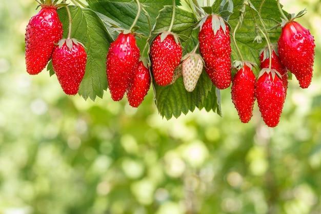 이미지 상단에 신선하고 잘 익은 딸기와 그 뒤에 흐릿한 녹색 자연 배경