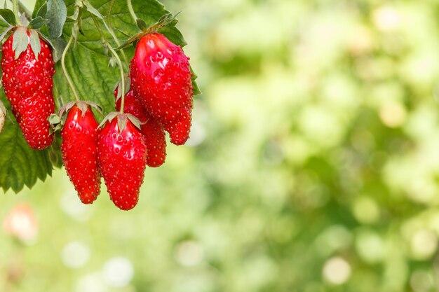 이미지의 왼쪽 상단에 있는 신선하고 잘 익은 딸기와 그 뒤에 흐릿한 녹색 자연 배경