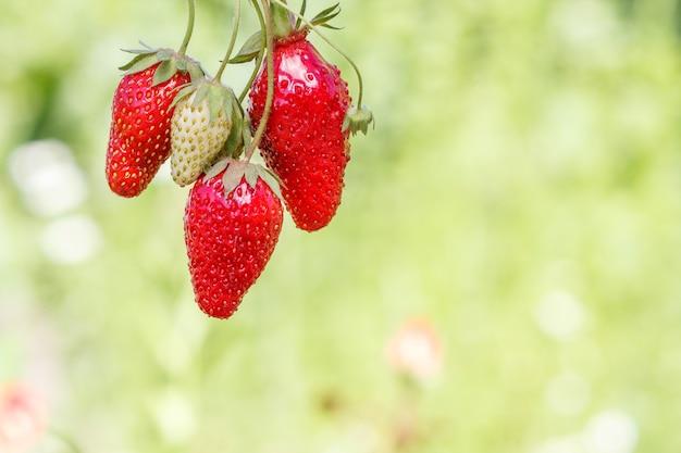 이미지 상단에 있는 신선하고 잘 익은 딸기와 그 뒤에 있는 흐릿한 녹색 자연 배경