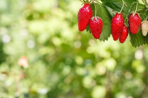 이미지의 오른쪽 상단에 있는 신선하고 잘 익은 딸기와 그 뒤에 흐릿한 녹색 자연 배경
