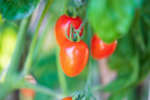 温室の庭で育つつる植物にぶら下がっている新鮮な赤い完熟トマト