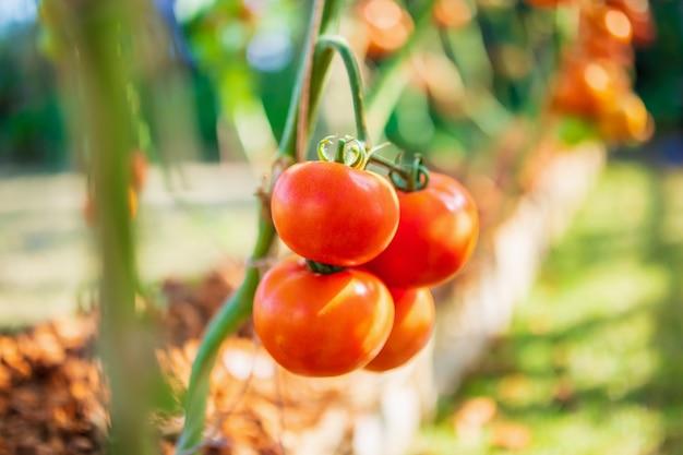 有機栽培の庭で育つつる植物にぶら下がっている新鮮な赤い完熟トマト