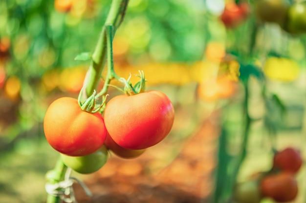 有機性庭で育つつる植物にぶら下がっている新鮮な赤い完熟トマト