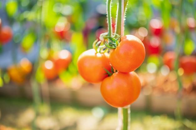 有機性庭で育つつる植物に掛かっている新鮮な赤い完熟トマト
