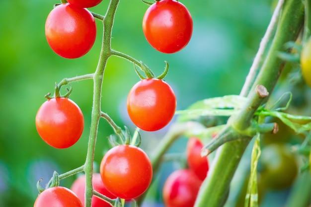 Свежие красные спелые помидоры, висящие на виноградной лозе, растущей в органическом саду