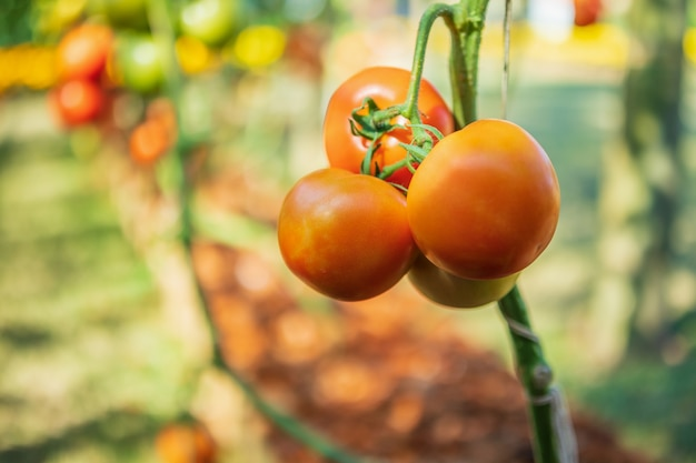 Fresh red ripe tomatoes hanging on the vine plant growing in organic garden