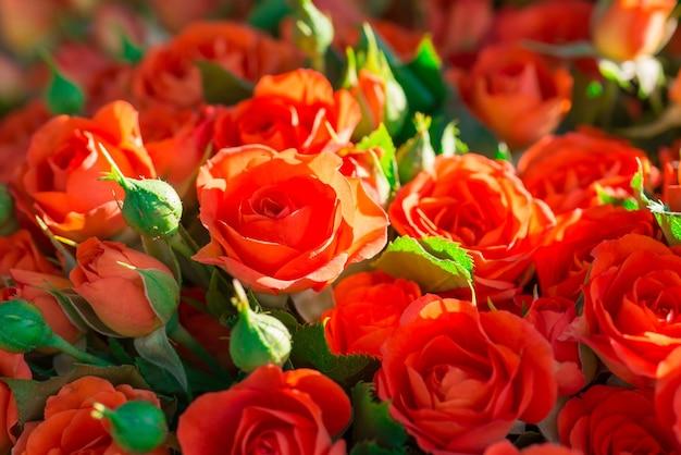 緑の葉と新鮮な赤いバラ-自然春の日当たりの良い背景。ソフトフォーカスとボケ