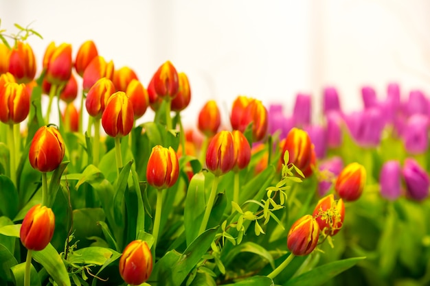 Fresh red tulips in the shop close up