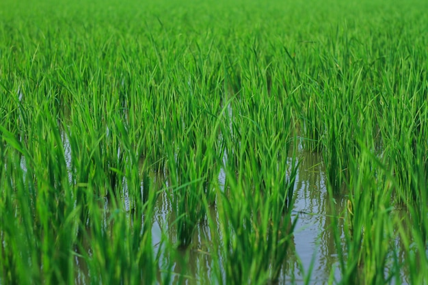 The fresh rice plants when growing
