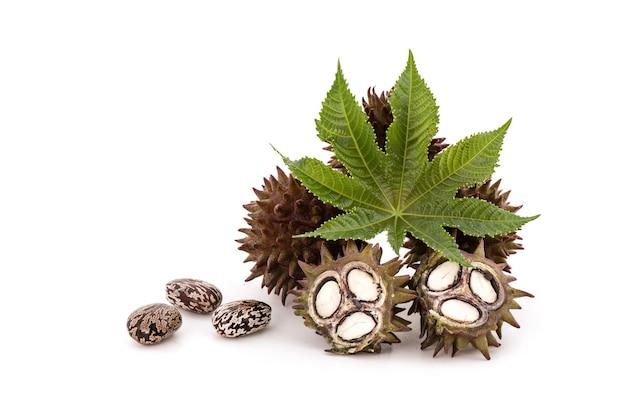 新鮮なトウゴマまたはヒマシの果実、緑の葉と種子を白で分離。