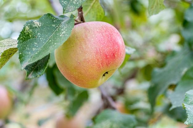 葉のある枝に新鮮で熟したリンゴ