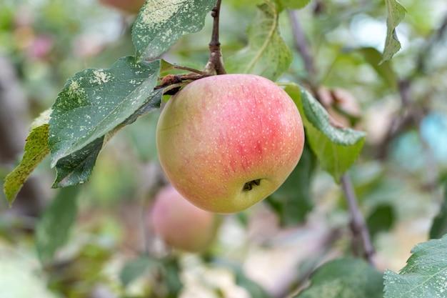 잎과 가지에 신선 하 고 잘 익은 사과
