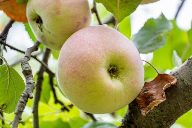 잎 가지에 신선한 익은 사과