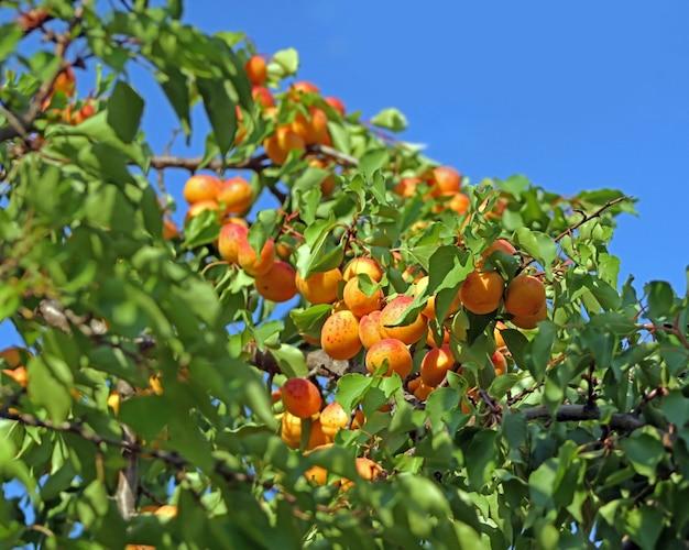 Fresh ripe apricots