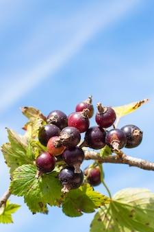 Свежие спелые плоды черной смородины и зеленые листья на ветке смородины. копировать пространство