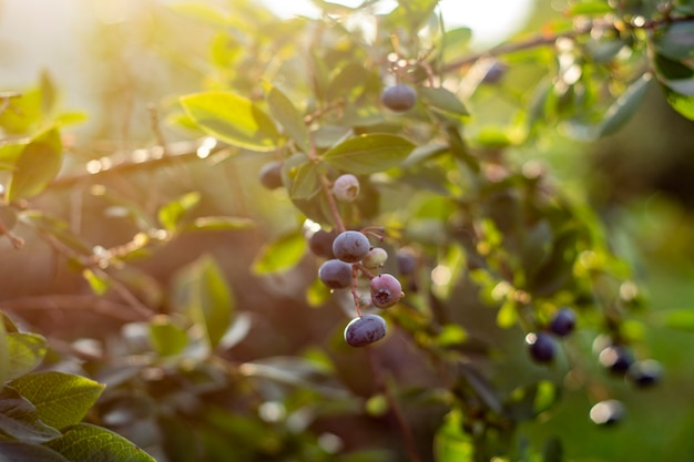 Fresh ripe blueberries on the growing bushes.