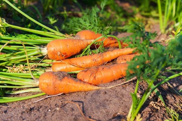 庭の新鮮な熟したニンジン、健康的なベジタリアン料理