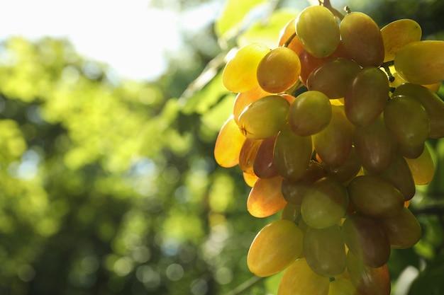 Свежая спелая гроздь винограда на открытом воздухе в солнечный день