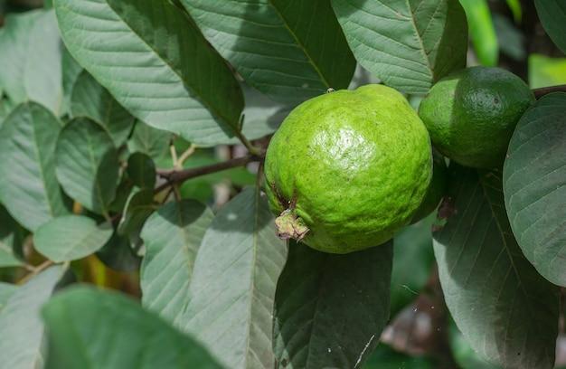 신선한 익은 구아바 과일은 정원에 잎이 있는 나무에 가까이 있다