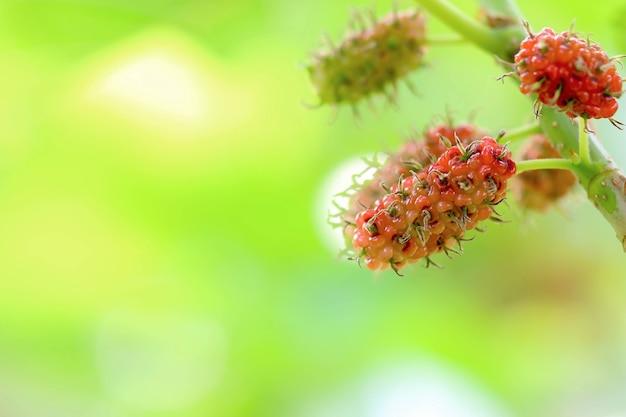 나무에 있는 신선하게 익은 뽕나무 열매 - 나뭇가지에 있는 신선한 뽕나무, 검은색 익은 붉은색 덜 익은 뽕나무
