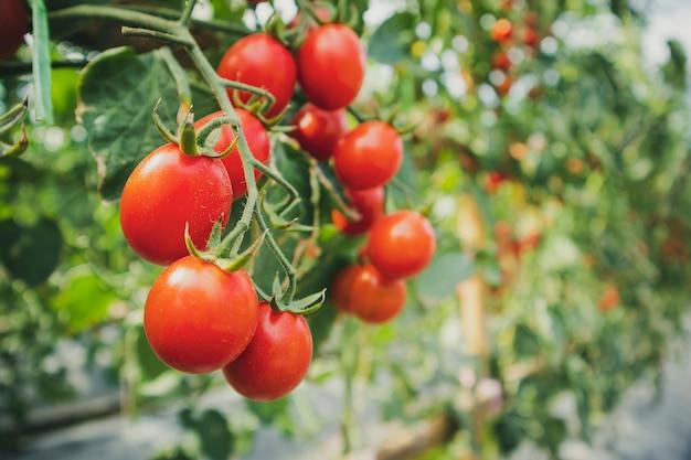 収穫の準備ができている有機温室の庭で新鮮な完熟赤いトマト植物の成長