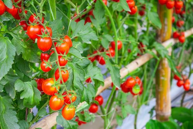 有機温室の庭で新鮮な完熟赤いトマト植物の成長