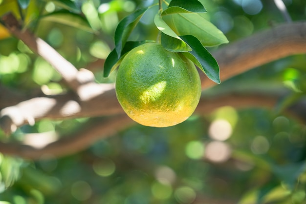 太陽の逆光でオレンジ色の庭の果樹園の木に新鮮な熟したタンジェリンマンダリンオレンジ。