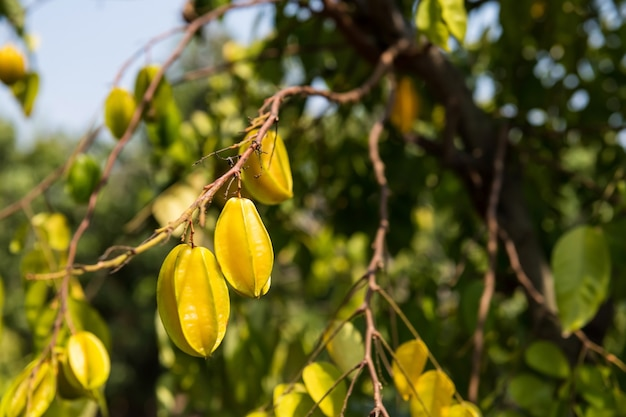 신선한 익은 노란색 starfruit 또는 스타 사과, carambola, 태국 chachoengsao 지방에서 나뭇 가지에 매달려.