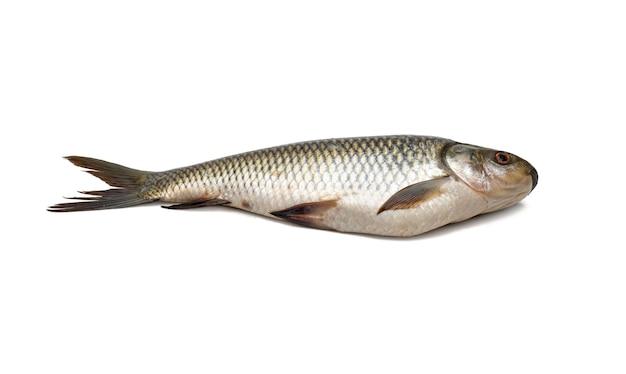 신선한 rohu 잉어 물고기는 격리 된 흰색 배경에 닫습니다