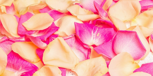 Fresh rose petals scattered on plaster background. multicolored flowers, festive or romantic concept. beauty or spa trend, gentle colors, banner