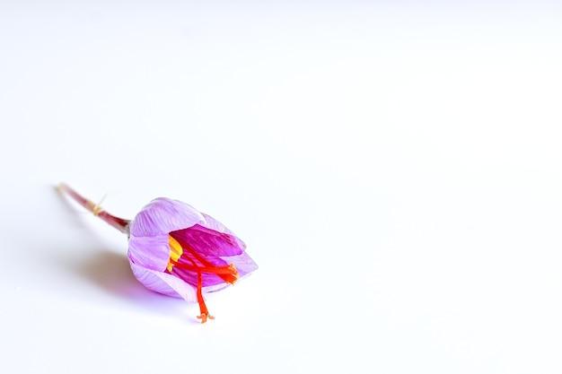 新鮮なサフランの花と白い背景の上の乾燥したサフランの糸