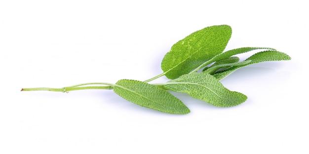 白い背景の上の新鮮なセージの植物